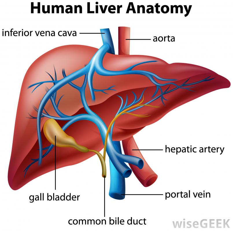 labeled-liver-with-portal-vein